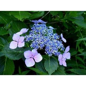 Hydrangea macr. 'Mariesii Perfect