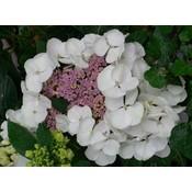 Hydrangea macr. 'Libelle'