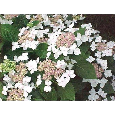 Hydrangea macr. 'Lanarth White'
