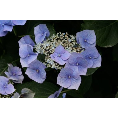Hydrangea macr. 'Blue Sky'
