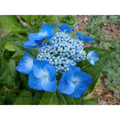 Hydrangea macr. 'Blue Deckle'