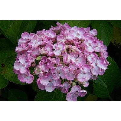 Hydrangea macr. 'Ayesha'