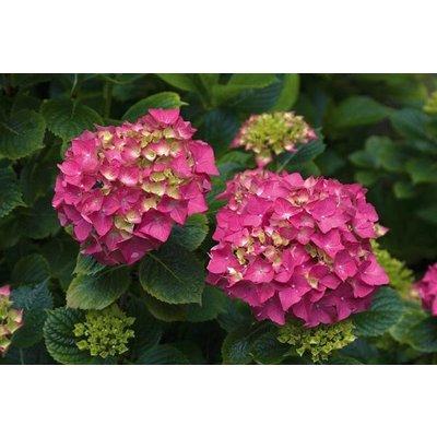Hydrangea macr. 'Altona'