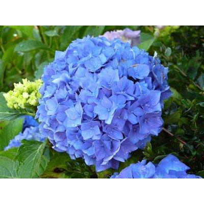 Hydrangea macr. 'Adria' blauw