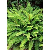 Polystichum set. 'Proliferum'
