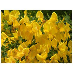 Cytisus 'Golden Tears'