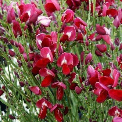 Cytisus 'Boskoop Ruby'