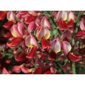 Cytisus 'Roter Favorit'