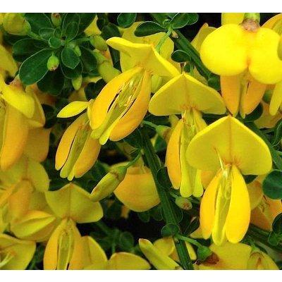 Cytisus 'Golden Sunlight'