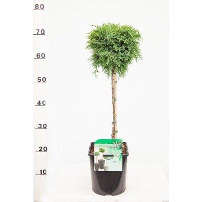 Juniperus med. 'Mint Julep'