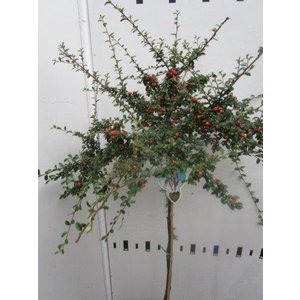 Cotoneaster suec. Coral Beauty