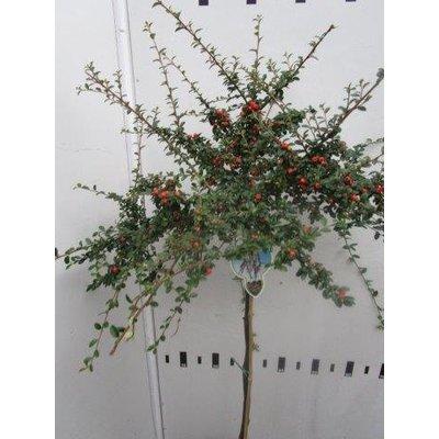 Cotoneaster suec. Coral Beauty