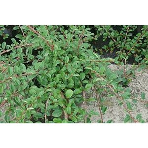 Cotoneaster radicans Eichholz