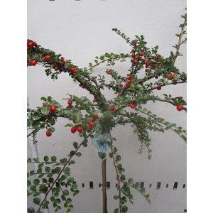 Cotoneaster namsham Boer