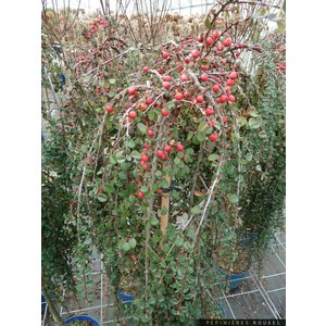Cotoneaster dammeri Winter Jewel