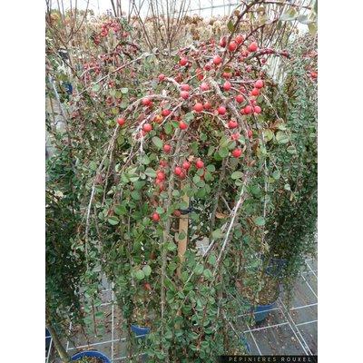 Cotoneaster dammeri Winter Jewel