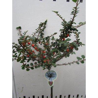 Cotoneaster Cotali