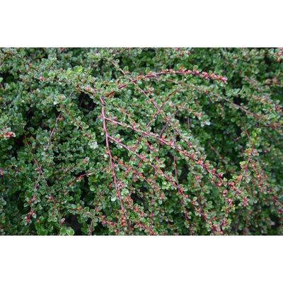 Cotoneaster apicul. Tom Thumb