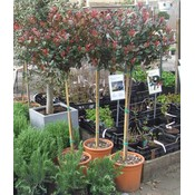 Photinia Little Red Robin op stam