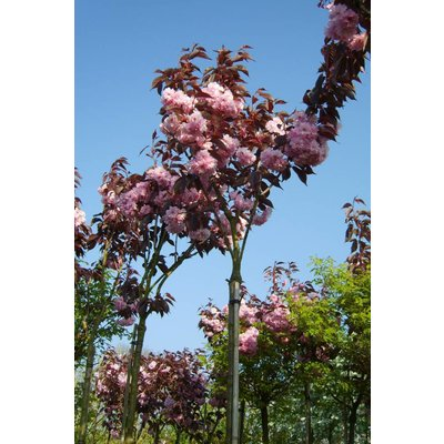 Prunus Rosea Plena