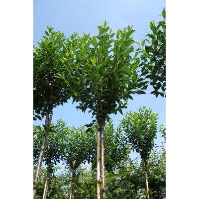 Prunus Umbraculifera