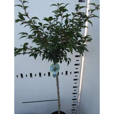 Prunus incisa Mikinori
