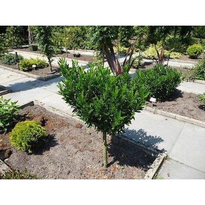 Prunus Gajo