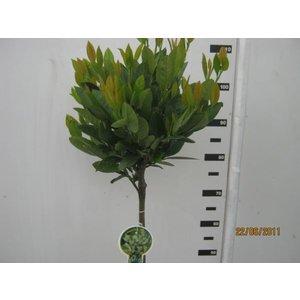 Prunus Mano op stam
