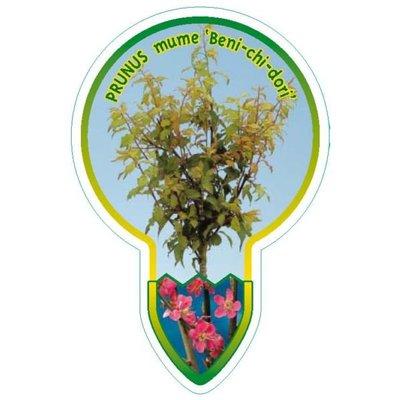 Prunus Beni chi dori