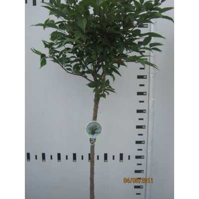 Prunus Nipponica Ruby