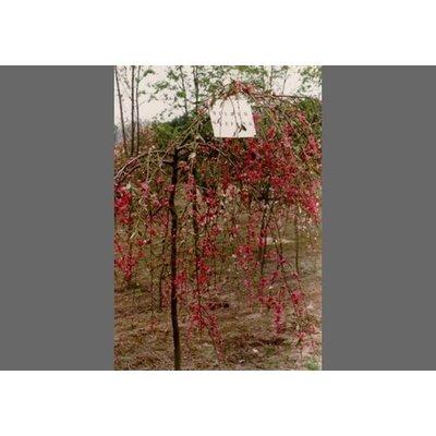 Prunus Persica Melred Weeping