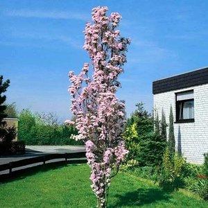 Prunus Ser Amanogawa