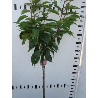 Prunus Ser. Kanzan