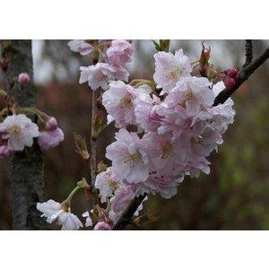 Prunus sub. Automalis Rosea