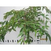 Prunus sub. Pendula Rubra