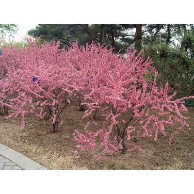 Prunus Tenella Fire Hill