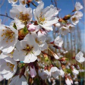 Prunus Yedoensis Shidare-yoshino
