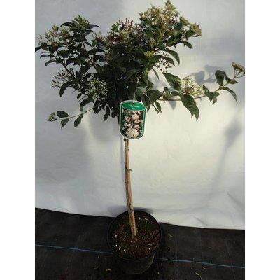 Viburnum Tinus op stam