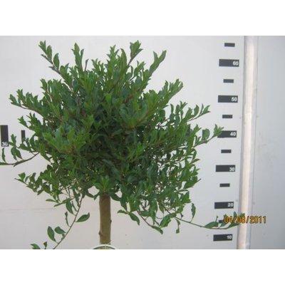 "Salix arctica ""Yalta""®"