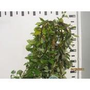 Salix caprea Curly Locks