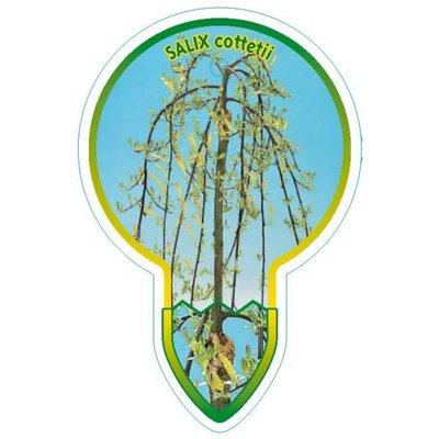 Salix Cottetii