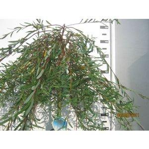 Salix integra Pendula