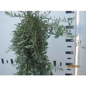 Salix repens Voorthuizen