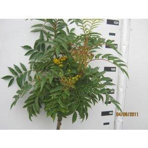 Sorbus Autumn Spire®