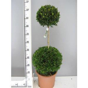 Buxus Duobol 60cm