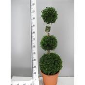 Buxus 3 Bollen op stam