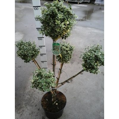 Euonymus 'Emerald Gaiety' Pon Pon