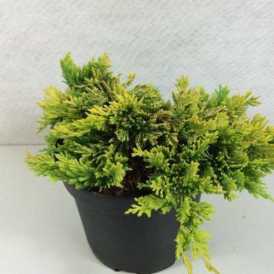 Juniperus hor.GoldenCarpet