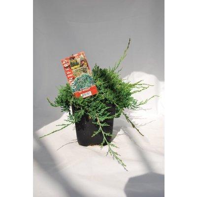 Juniperus hor.Wiltonii.