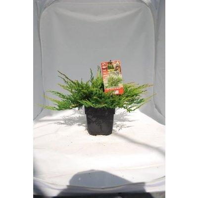 Juniperus hor.Prince of Wales.